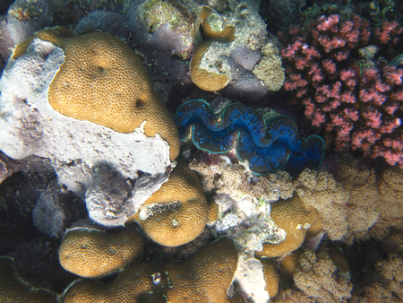 Giant clam - ocean, red sea, giant clam, coral