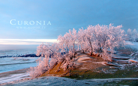 Pink hoarfrost in Curonia dunes - hoar, kurische, curonia, beautiful, magic, spit, sand, dunes, fabulously, nehrung, beauty, morning, pink, frost, harmony, christmas, angel, kopos, curonian, winter, spirit, rime, purple, snowdrifts, nature, white, frozen, landscape
