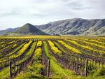 Vineyards in San Luis Obispo, California.