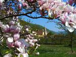 view through magnolia flowers