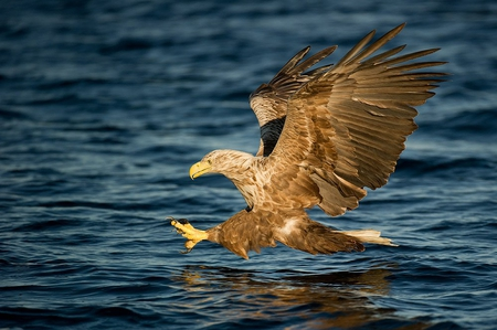 Golden Eagle Wallpaper Desktop Golden Eagle Wallpaper Golden
