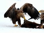 Eagles with a Carcass