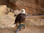 Captive Bald Eagle