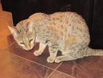 Cat Lover2,,del amante del gato ,,amant de chat