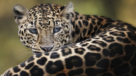 Big Cat - leopard, spotted, big, pose, cat, eyes, gazing