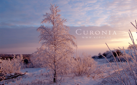Pink frost winter beauty in Curonia - hoar, kurische, curonia, beautiful, magic, snowy, spit, sand, dunes, fabulously, nehrung, beauty, morning, pink, frost, harmony, kopos, curonian, winter, spirit, rime, purple, violet, snowdrifts, nature, white, frozen, landscape