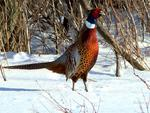 Male Ring Neck Pheasant