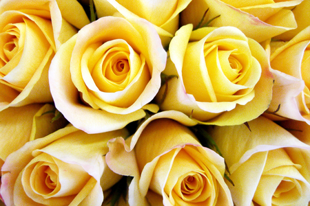 Roses for Anne(YellowForever) - rose, yellow flower, yellow, beautiful, roses, yellow roses, yellow flowers, flower, flowers, nature, yellow rose