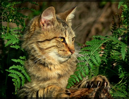 Observant - watching, outdoors, animals, cats, ferns, maine coon