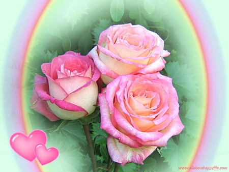 3 Lovely Pink Roses Flowers Nature Background Wallpapers On
