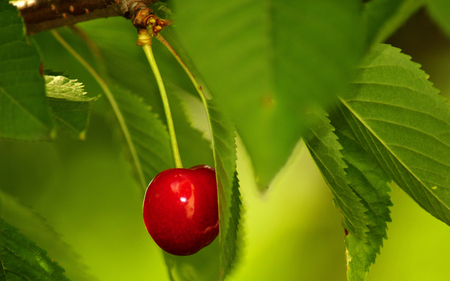 cherry - plants, cheery, fruits, nature