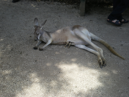 Australian Eastern Grey Kangaroo - common, cute, grey, tame