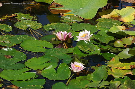 WATER LILIES, SPOT THE FROGS, - lilies, frogs, flowers, water