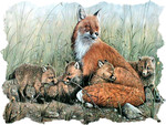 Red Fox and Kits 1
