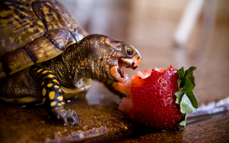 Turtle - cool, strawberry, photography, nice, awesome, photo, turtle