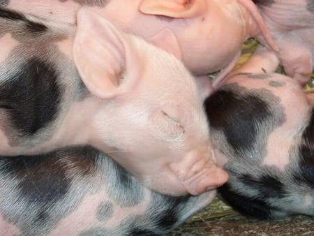 PILE OF PIGLETS - pigs, porkers, pile, piglets