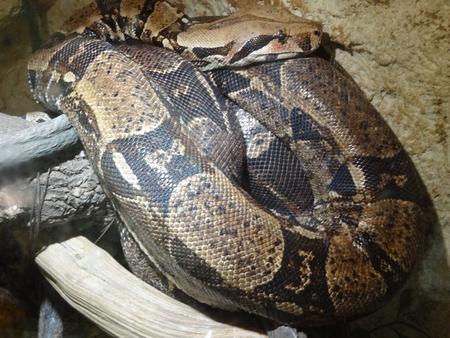 Big Snake - reptile, snakes, reptiles, snake