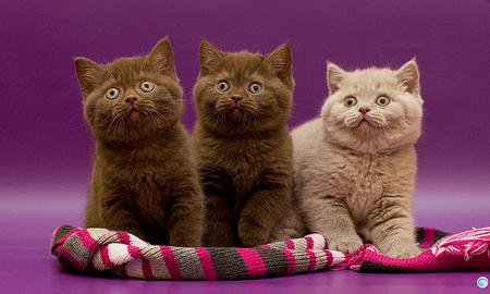 Three Amigos - posed, stare, cute, kittens, playful, adorable, sweet