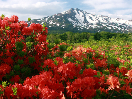 Mountain Vista - red, scenic, bloom, orange, trees, snow, azaelas, flower, flowers, nature, fields, petals, blooms