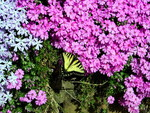 FLOX WITH BUTTERFLY