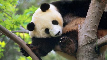 Giant Panda - beautiful, bears, animals, panda, nature, trees, giant panda
