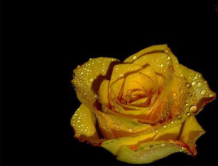 Yellow rose and rain drops flowers nature background wallpapers yellow rose and rain drops altavistaventures Image collections