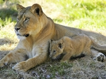 Female lion and her cub