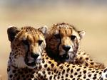For my Sweet Cheetah friend Ramya ( ramyadevims )