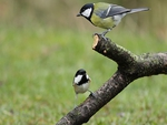 Coal Tit and Great Tit