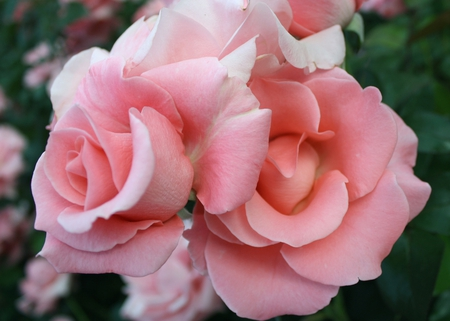 a_pair_of_pink_roses - rosess, rose, flower, flowers, nature, pink