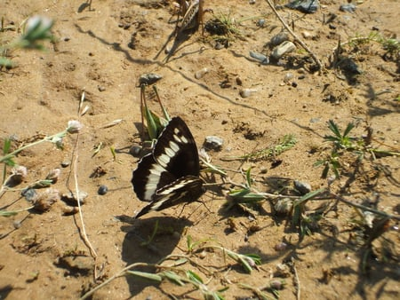 Sand Butterfly - butterfly, summer, bug, sand, nature