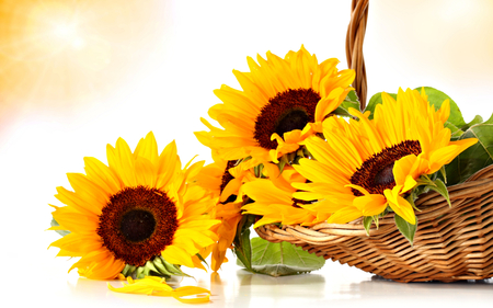 Sunflowers - photography, romantic, with love, for you, flowers, petals, nature, yellow, beauty, beautiful, lovely, sunflower, romance, pretty, still life, basket, sunflowers