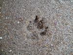 Beach paw print
