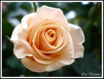 Creamy soft colored peach rose
