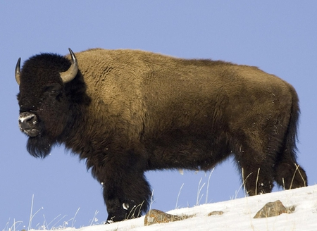 Buffalo Watch - powerful, bison, strong, buffalo, beautiful, horns