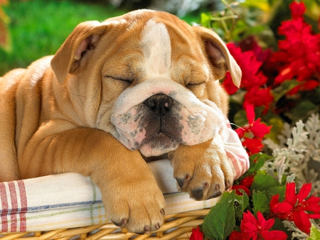 Sleeping Dog Dogs Animals Background Wallpapers On Desktop Nexus