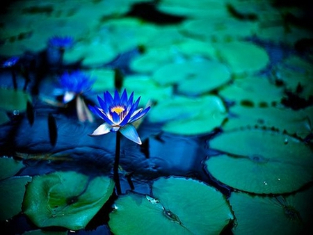 blue lotus flower wallpaper, Natural flower