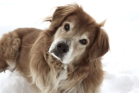 Confused Dog - golden retrievers, snow, confused, animals, dogs