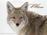Willow the Coyote