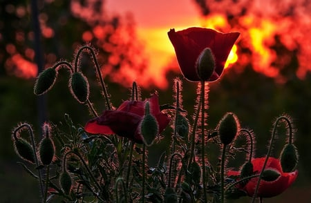 Poppy Fire - red, burning, poppies, beautiful, unique, sky, fire, cool, dark, night