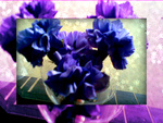 blue carnations framed