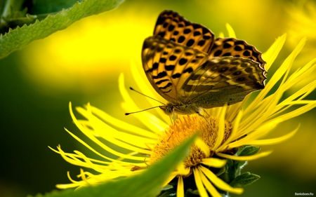 Touch the sun♥~ For all butterfly lovers~ - wings, yellow, close, beautiful, sunflower, spot, butterfly, green, flower, insect, nature, petals, walking, sunshine, nectar