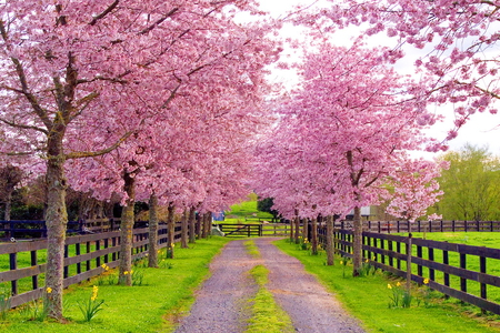 Spring lane - pink, lane, trees, fence, blooms, country