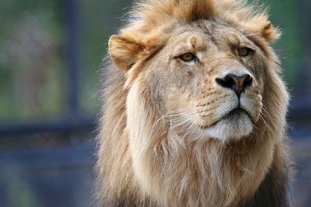 lion - big, lion, cat, nature