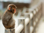 Lonely Macaque Monkey