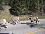 Mountain Goats on the road to Banff