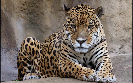 Leopard - rock, design, tail, animal, spots, paws, leopard, ears