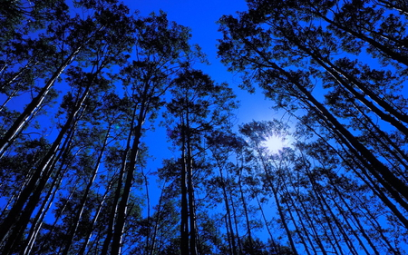 Forest at night - forest, blue sky, hight trees, brillant moon, shadows