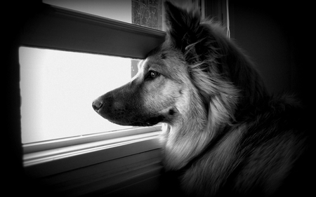 Waiting For My Master - german shephard, alone, window, waiting, ears, fur, dog, master