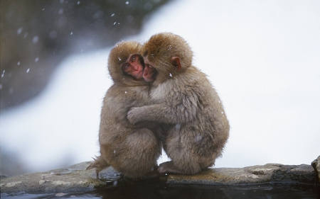 Monkeys in love - primate, monkey, love, animal